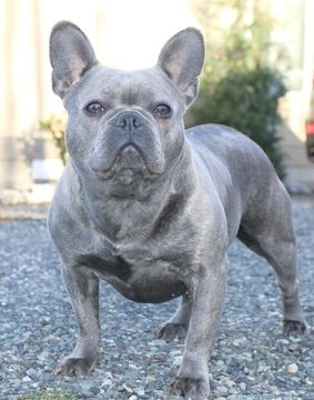French Bulldog Puppy For Sale In Marysville Wa Usa Adn 79419 On