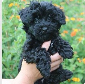 Cute Little Curly Haired Dog Mini Poodles Miniature Poodle