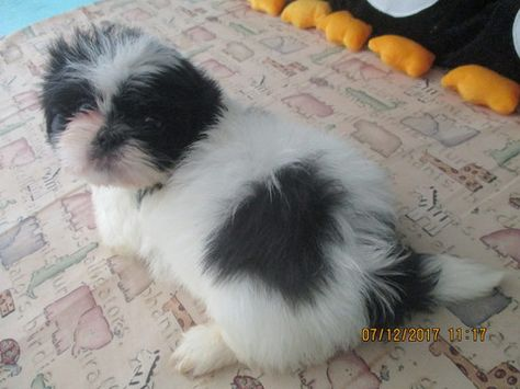 Shih Tzu Puppy For Sale In Asheville Nc Adn 37058 On Puppyfinder