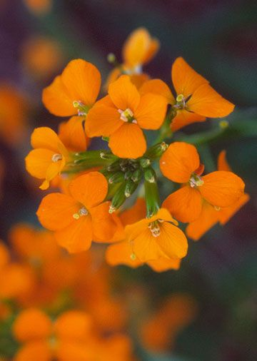 Short Orange Flowers