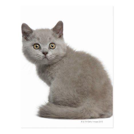 Animaladdicts Instagram Posts Videos Stories On Webstaqram Com British Shorthair Kittens Cat Allergies Dog Allergies