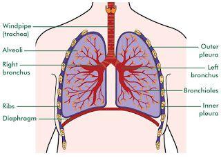 Medicine Lung Development Part 4 In 2020 Human Anatomy Picture Lunges Development