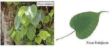 فيكس لسان العصفور Plant Leaves Ficus Plants