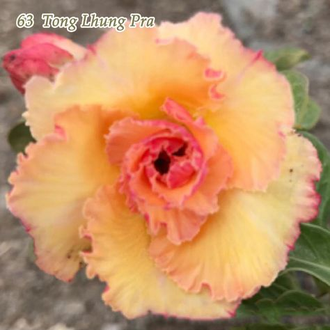 Adenium Obesum Desert Rose Plant Bonsai Rare Double-Flowered #63 Brand New