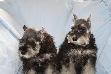 Keepsake Miniature Schnauzers Puppies For Sale Breeder Miniature Schnauzer Puppies Schnauzer Miniature Schnauzer