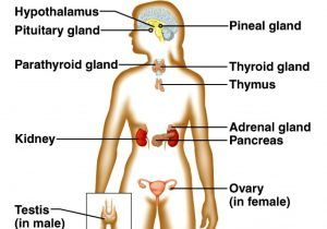 Endocrine System Labeled Diagrams Adrenal Gland Diagram Without
