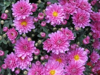 Jesienne Kwiaty Fot Suppenkasper Pixabay Com Plants Hardy Mums Chrysanthemum