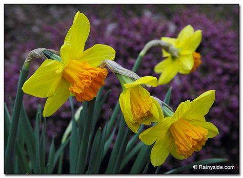 Narcissus Suada Fall Bulb Planting Narcissus Planting Bulbs