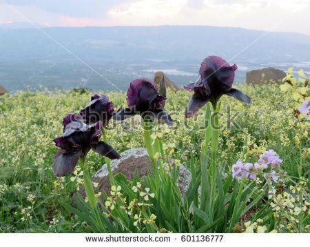 The Famous Black Iris Flower Of Jordan 16 Hgh I Just Planrted One So Far Iris Flowers Black Iris Famous Black