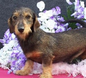 Spicewh Wire Haired Dachshund Dachshund Cool Pets
