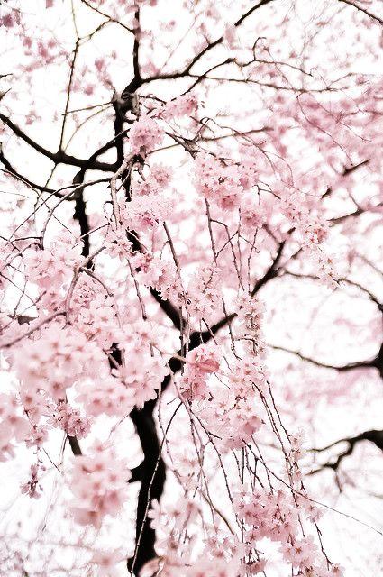 Pin By Allison Saul On Hana Song Cherry Blossom Flowers Sakura Cherry Blossom Cherry Blossom Japan