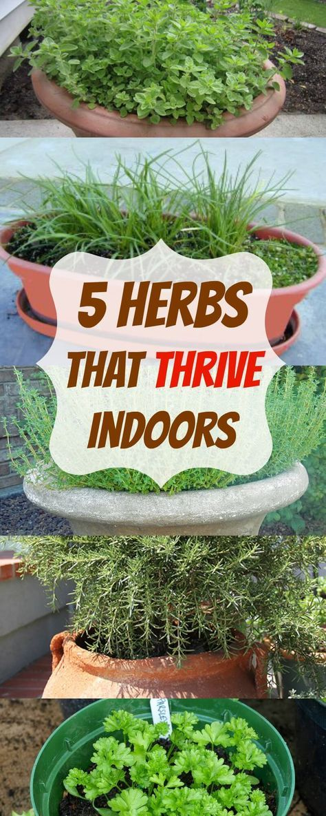 Indoor Vegetable Gardening herbs that thrive indoors - Looking to grow your herbs indoors? These are the 5 herbs that THRIVE indoors and we'll show you exactly how to plant them!