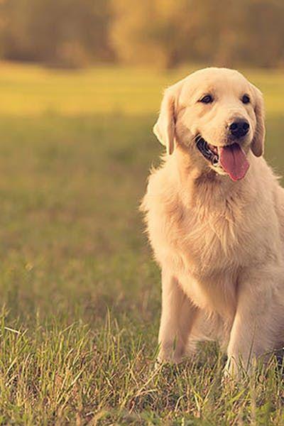 Train A Golden Retriever Puppy Retriever Puppy Golden Retriever