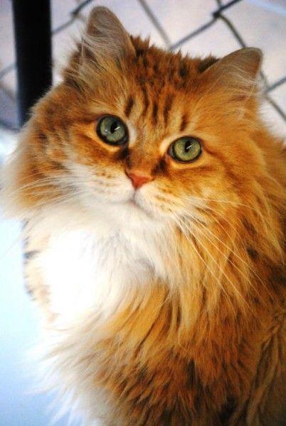 Vida Domestic Long Hair Cat For Adoption In Stockbridge Michigan Cat Adoption Cats Cat Rescue