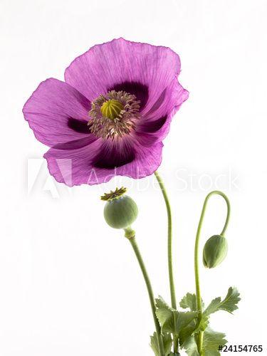 Schlafmohn Blute Knospe Und Kapsel Blumenbilder Schlafmohn Wie Man Blumen Malt
