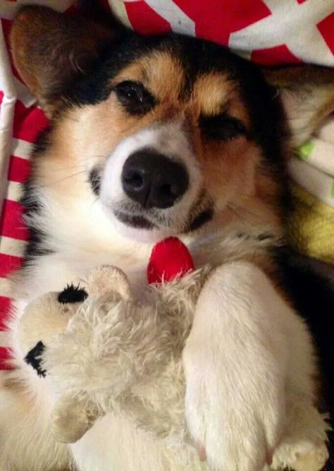 Corgi Bennett and a Lamb Chop