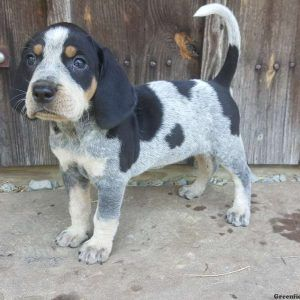 Bluetick Coonhound Puppies For Sale Greenfield Puppies Listenhunde