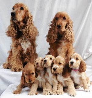 Cocker Spaniel Puppies For Sale New South Wales Dogz Online