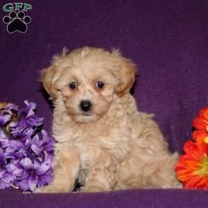 Maltipoo Puppies For Sale In Shippensburg Pa Sold Pet Supplies Super Store Maltipoo Puppy Maltipoo Puppies For Sale Puppies