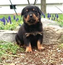 Pin On Rottweiler Puppies For Sale
