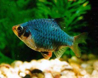 Green Tiger Barb Barbs Aquarium Fish Fish Pet