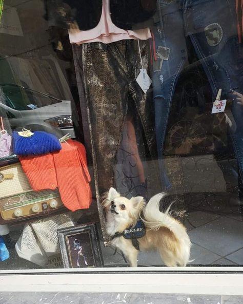 Mon copain du jour ...   Mon copain du jour  . . #pets #chihuahua #dogsofinstagram #dogs