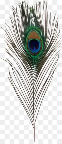 Free Download Bird Asiatic Peafowl Feather Simple Eye In Invertebrates Peacock Feather Png 1568 3584 And 4 71 Feather Illustration Feather Drawing Peafowl