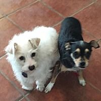 Pictures Of Andy And Tiny W A Maltese For Adoption In Olympia Wa
