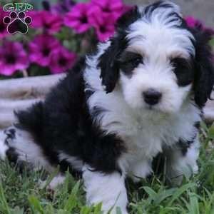 Mini Bernedoodle Puppies For Sale Mini Bernedoodle Bernedoodle