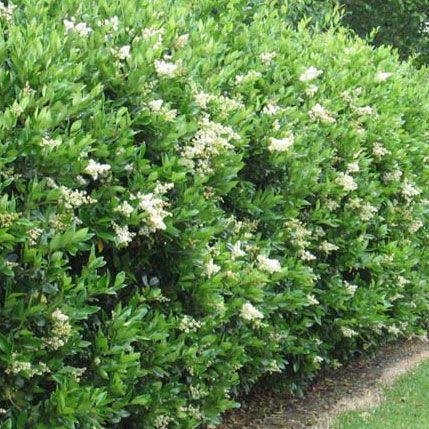 Privet Hedge Ligustrum Ibolium Hedges Landscaping Evergreen