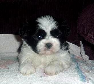 Puppies For Sale Near Me Cheap Puppies For Sale Near Me