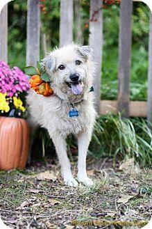 Fayetteville Ar German Shepherd Dog Norwegian Elkhound Mix