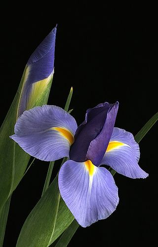 Irises Iris Flowers Purple Flowers Flowers Photography