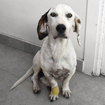 In Spanien Als Man Puca Auf Der Strasse Fand War Man Nur Entsetzt Das Arme Madel Hatte Einen So Grossen Tumor An Der Mi Hunde In Not Hunde Vermittlung Tierheim