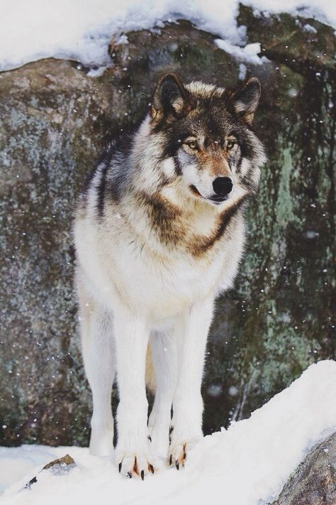 DarkFang~male~mate: Haze~no pups ::Hunter:: DarkFang is a loyal wolf who will die for his pack and is great at hunting. {30 moons} Open