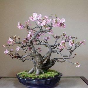 Japanese Red Maple Bonsai Tree 20 Seeds Acer Palmatum Real Etsy Cherry Blossom Bonsai Tree Flowering Bonsai Tree Bonsai Tree Care