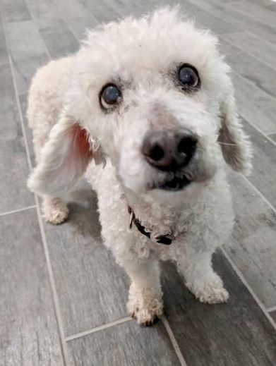Adopt Bella The Poodle On Rescue Me Great Dane Rescue Poodle