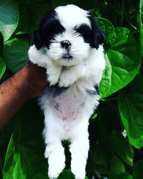Pin by Mayur Bhoyar on pitbulls india | Pitbulls, Animals, Dogs