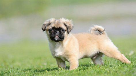 Meet The Chug Dog Chihuahua Pug Mix Facts And Traits