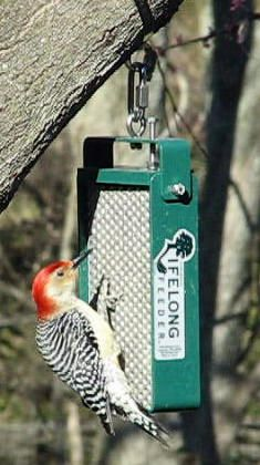 Redbellied Woodpecker Loving The Raccoon Proof Squirrel Proof Lifelong Feeder With Images Squirrel Proof Bird Feeders Bird Feeders Suet Bird Feeder