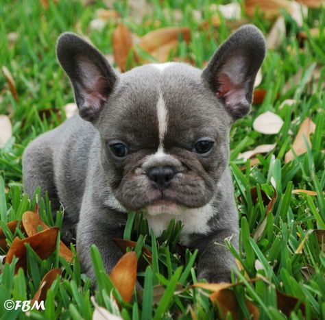 French bulldog: I love these little guys