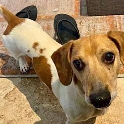 Pearland Texas Dachshund Meet Howard A For Adoption Https Www Adoptapet Com Pet 28693116 Pearland Texa In 2020 Dachshund Rescue Pet Adoption Dachshund Adoption