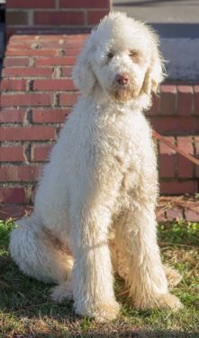 For Lacey When She Grown A Whites German Shepherd Poodle Mix