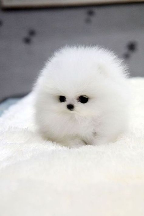 Canine Miniature White Pomeranian Spitz