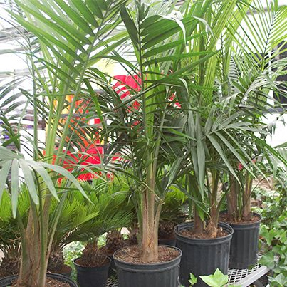 Tropical House Plants bring the outdoors inside with the eye-catching #yucca house plant