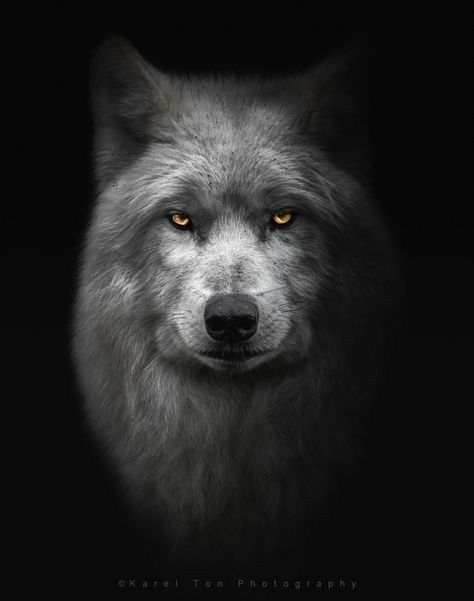 Pin By Lisa On Black Wolf In 2020 Wolf Eyes Wolf Photography Wolf Pictures