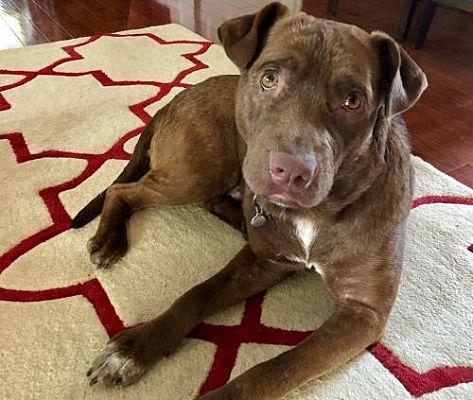 New York Ny Labrador Retriever Meet Levi A Dog For Adoption