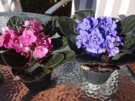 Cómo cuidar una violeta africana. Las violetas africanas son unas bonitas plantas que florecen todo el año y que pueden vivir perfectamente en interiores, así como también en jardines sombreados. Podemos encontrarlas de distintos colo...