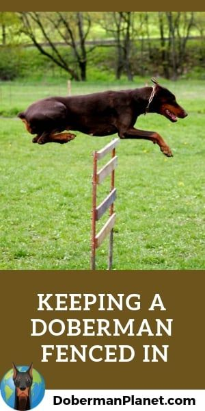 How High Can A Doberman Jump Fencing Issues And More Doberman