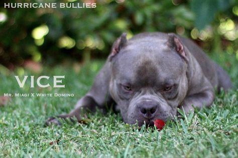Vice Hurricane Bullies American Bully Bullying Vice
